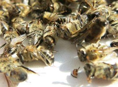 Как правильно принимать пчелиный подмор от простатита
